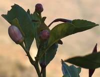 Blüten vom Zitronenbaum auf der Finca in den andalusischen Bergen - Provinz Málaga - Spanien