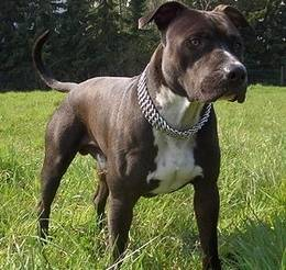 American Staffordshire Terrier - Papa von James Bond