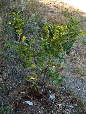 Zitronenbaum auf der Finca Mikaela an der Costa del Sol in der Provinz Málaga Andalusien Spanien
