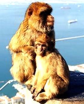 Affen (Mutter und Kind) auf dem Felsen in Gibraltar