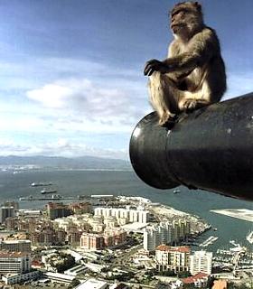 Berberaffe - im Hintergrund Gibraltar - Costa de la Luz - britische Kronkolonie