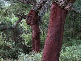 Nationalpark Los Alcornocales - Korkeichen - Provinz Cádiz - Andalusien - Spanien