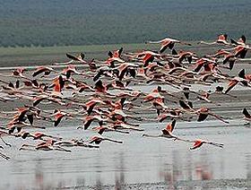 Die Flamingos der Laguna de Fuente de Piedra