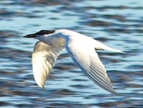 Lachseeschwalbe Naturschutzgebiet Naturpark Laguna de Fuente de Piedra