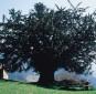 Naturdenkmal Teak und Zerreiche in Bermiego Asturien Spanien