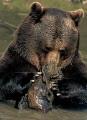Naturpark - Saja-Besaya - Kantabrien - Spanien - Braunbären
