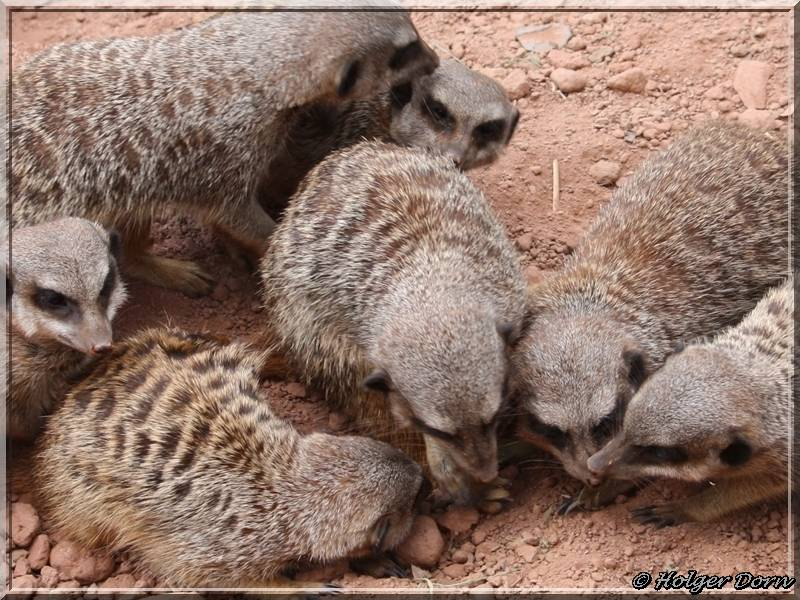 Erdmännchen - aus dem Leipziger Zoo