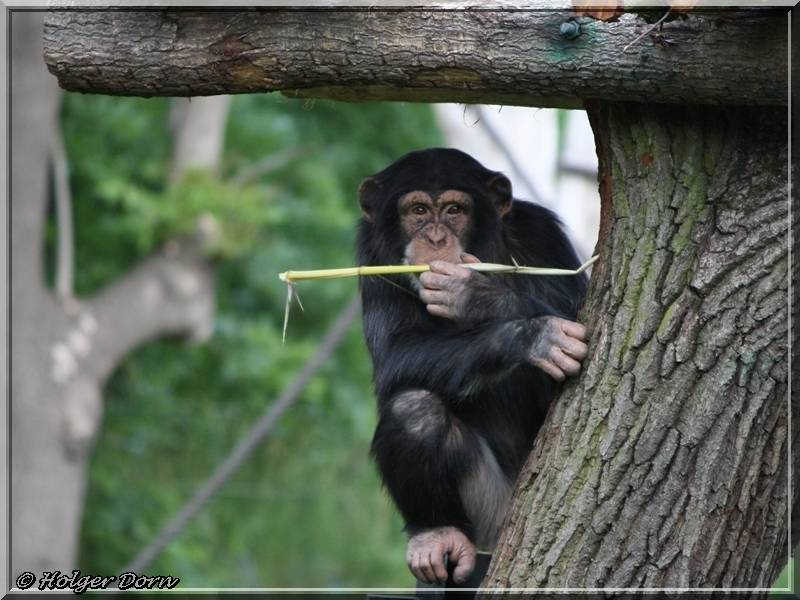 Schimpanse - aus dem Pongoland vom Leipziger Zoo