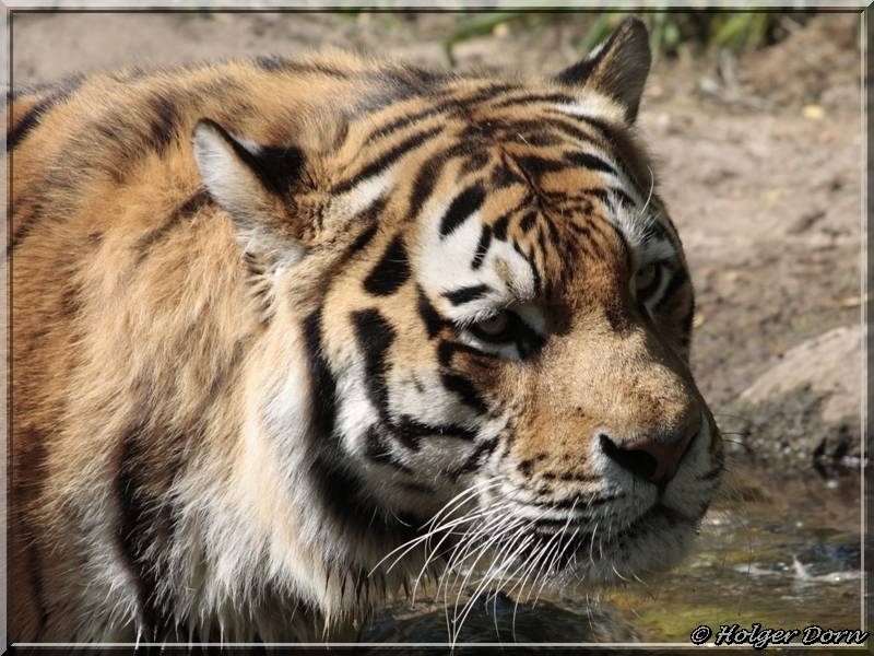 Tiger - aus dem Leipziger Zoo