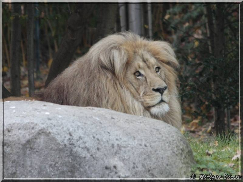Löwe - aus dem Leipziger Zoo