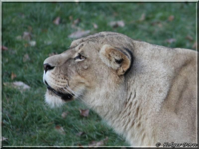 Löwin - aus dem Leipziger Zoo