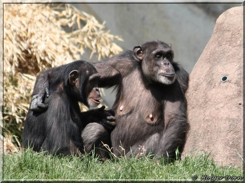 Schimpansen - aus dem Leipziger Zoo - Pongoland