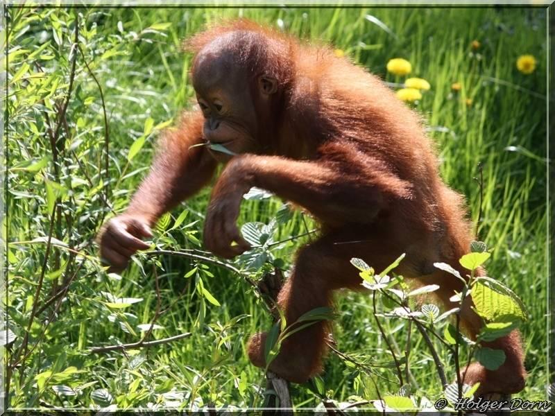 Orang Utan - aus dem Pongoland vom Leipziger Zoo
