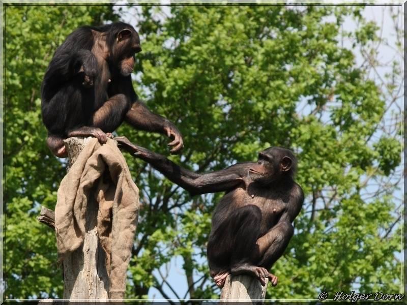 Bonobos - aus dem Leipziger Zoo - Pongoland