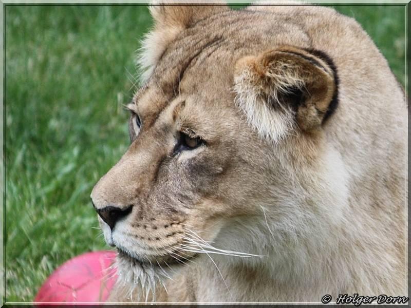 Löwe aus dem Leipziger Zoo