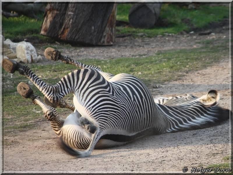 Zebra aus dem Leipziger Zoo