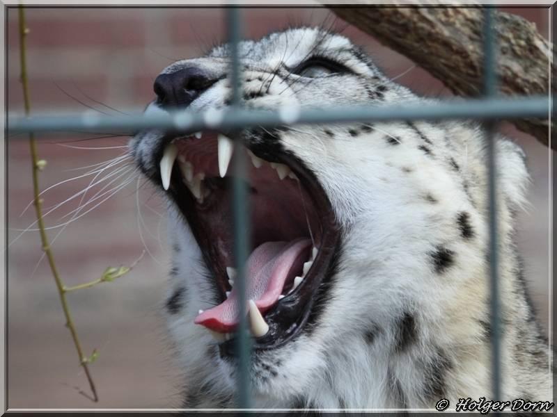 Achneeleopard aus dem Leipziger Zoo