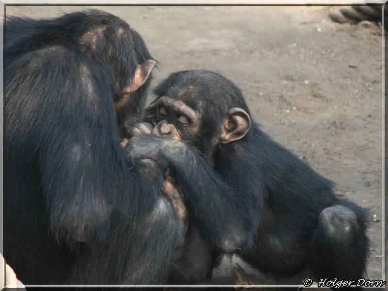 Schimpansen - aus dem Pongoland vom Leipziger Zoo