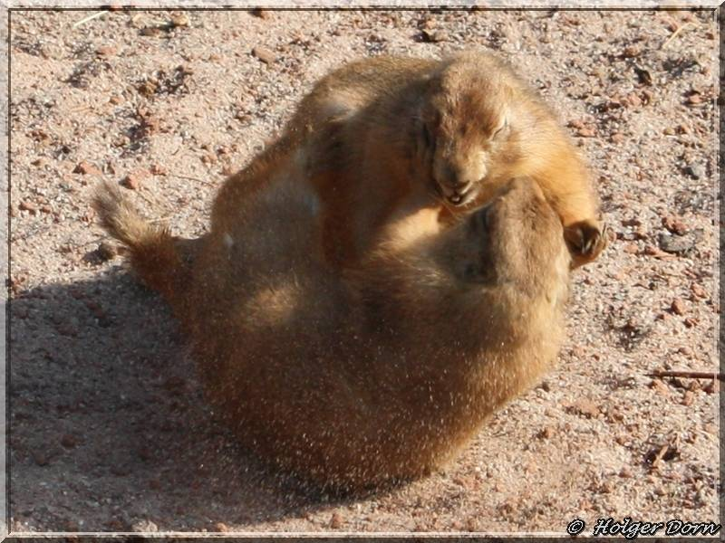 Präriehunde - aus dem Leipziger Zoo