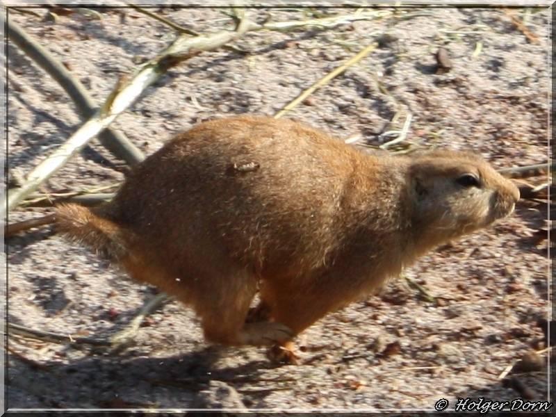 Präriehund - aus dem Leipziger Zoo