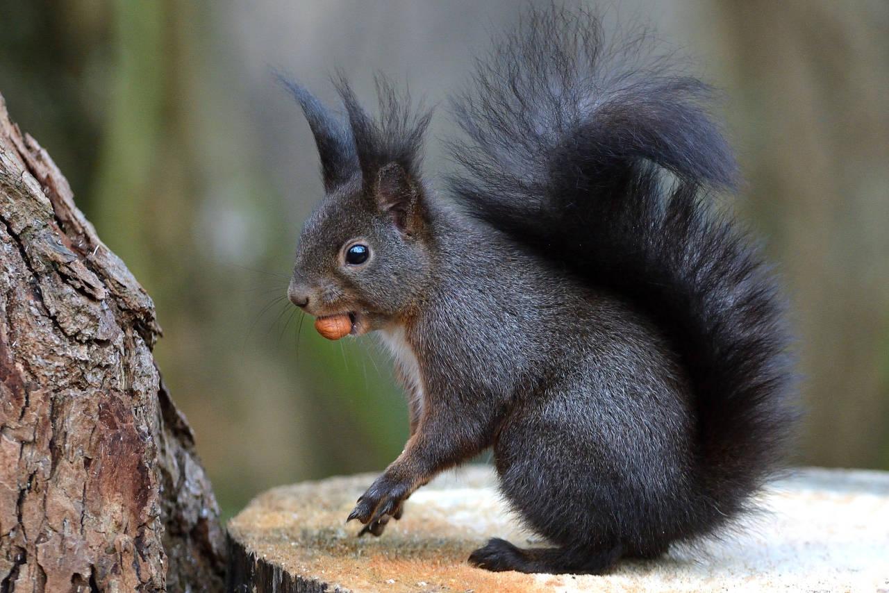 Eichhörnchen (Klingnau)