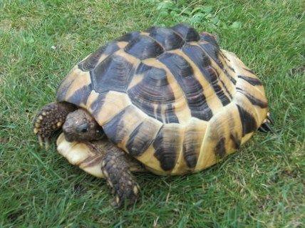 Schildkröte Ohne Panzer