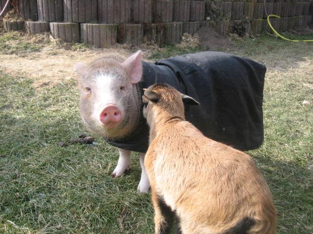 Das Lamm lernt Kiki kennen