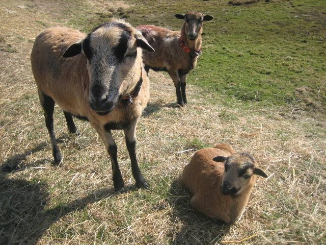 Schaf-Familie (Elvis im Hintergrund)