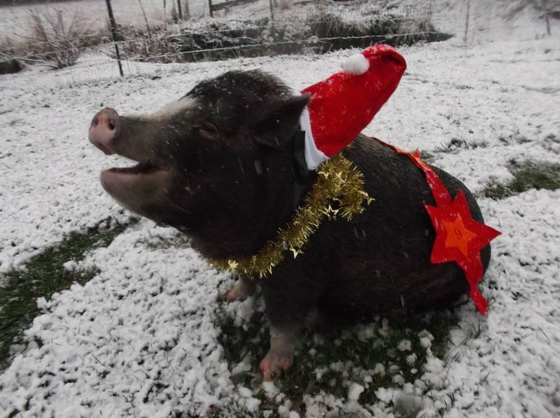Minischwein Kiki
