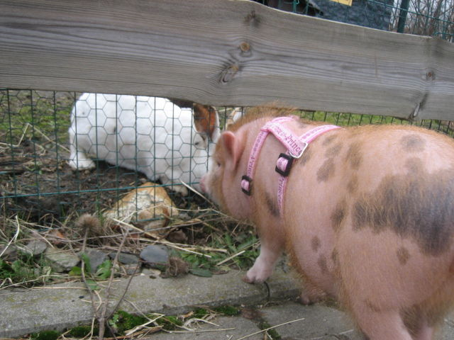 Minischwein Kiki beschnuppert Kaninchen