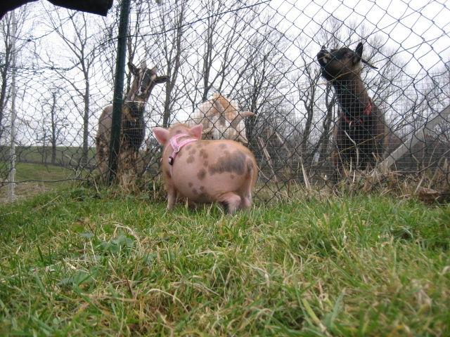 Minischwein Kiki beschnuppert die Ziegen