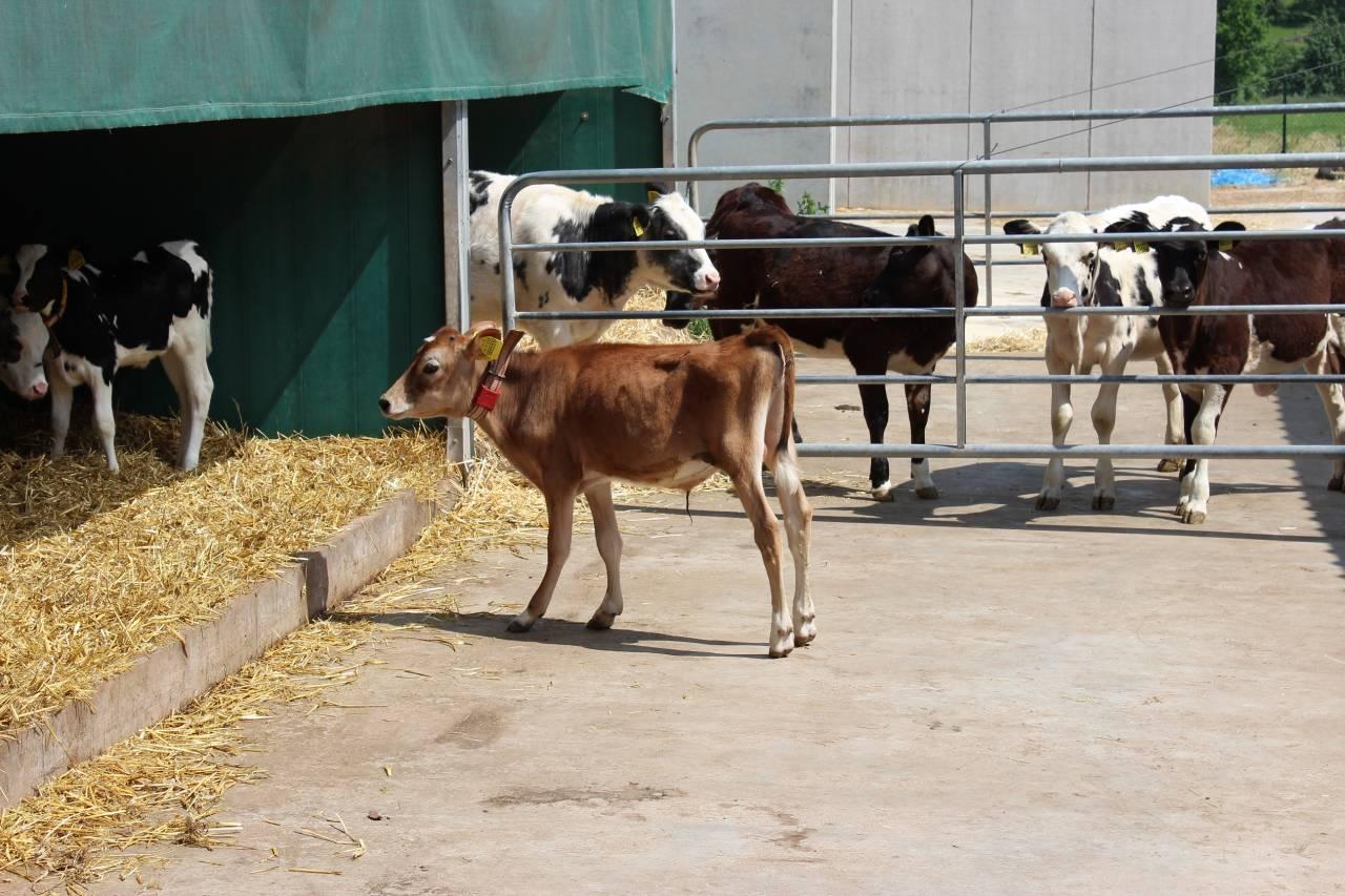 Unser späterer Nepomuk im Milchviehbetrieb