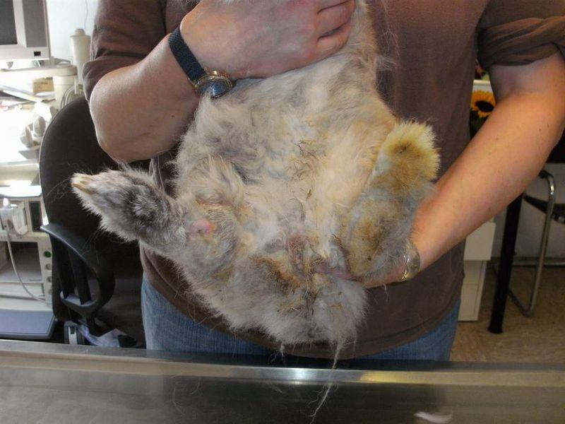verdrehter Kaninchenfuß