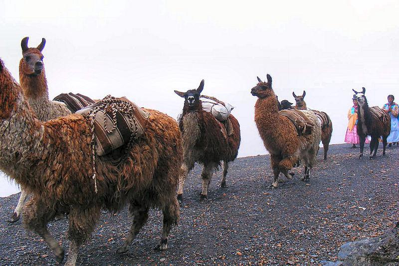 Immer wieder Lamas als alltägliches Transportmittel