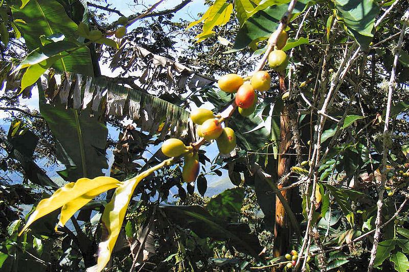 Kaffestrauch mit Früchten