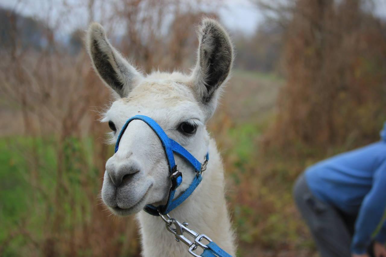 lama Oskar von den Unstrut-Lamas, tiergestützte Therapie Thüringen Lama Alpaka