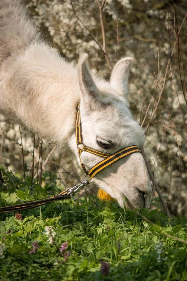 Lama Alpaka Lamawanderung Tiergestützte Intervention