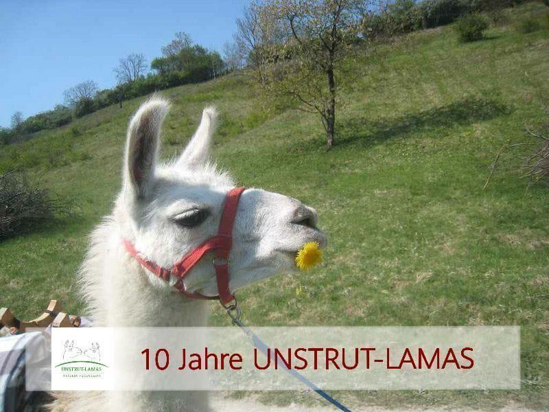 Unstrut-Lamas geführte Lamawanderung