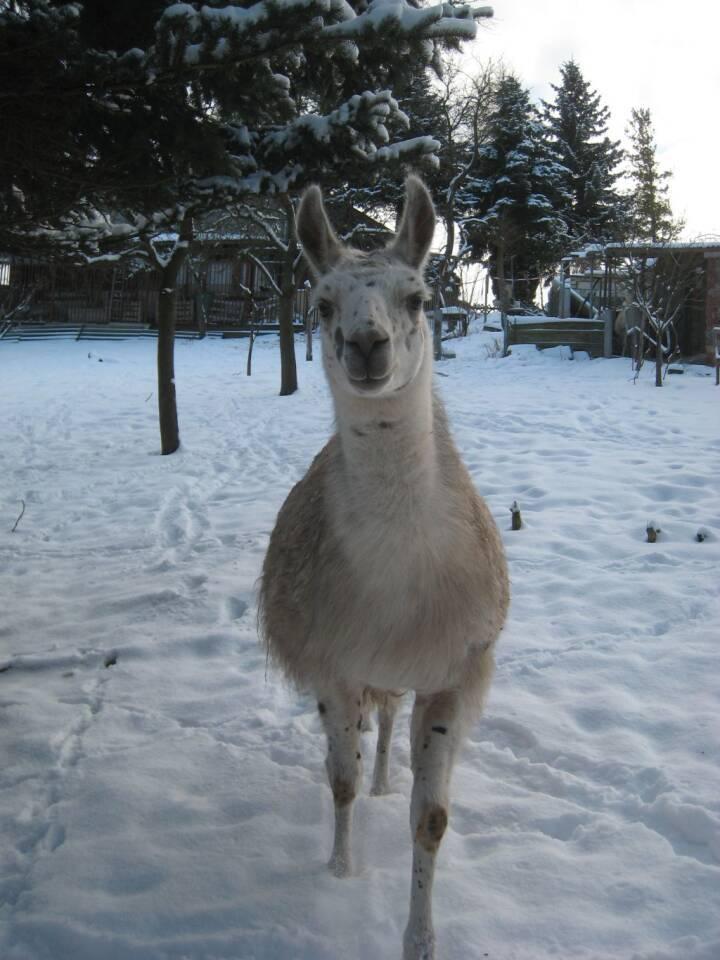 lamas wandern wanderung im schnee thüringen unstrut-lamas tiergestützte therapie