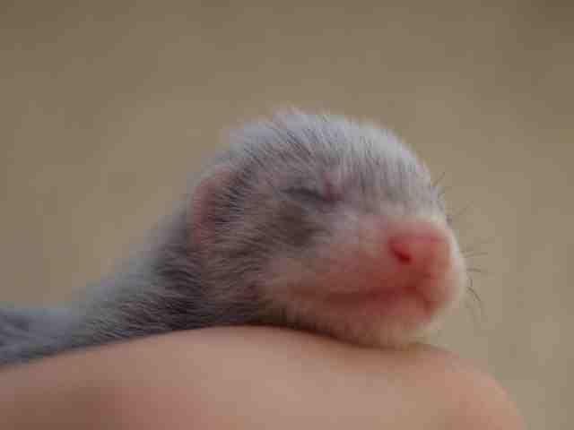 Frettchen Baby