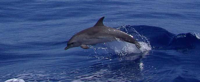 bbw finne delfin