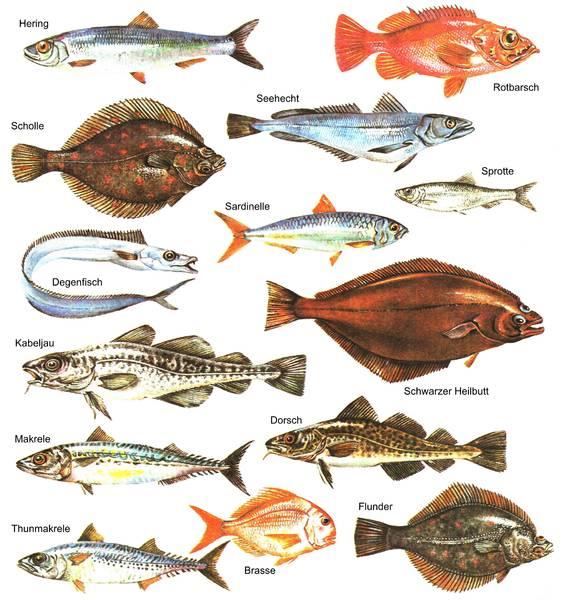 Hochseefischerstammtisch hochseefischer dresden rostock for Teichfische arten bilder