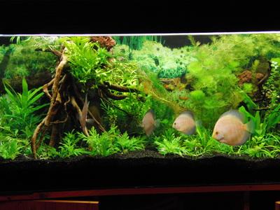 aquarium wurzeln aquarium wurzeln deko f 252 r aquarium selber machen 30. Black Bedroom Furniture Sets. Home Design Ideas