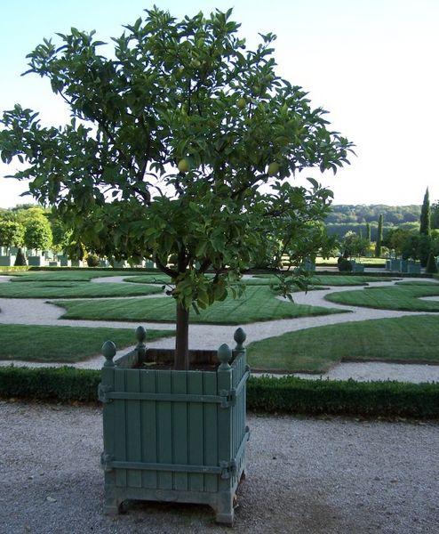 Zitronenbäumchen in der Orangerie -- August 2009