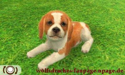 Beagle Zweifarbig
