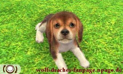 Beagle Dreifarbig