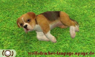 Boxer Beaglefarben