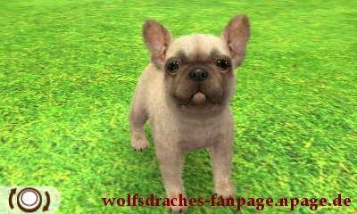 Bulldogge Falbfarben