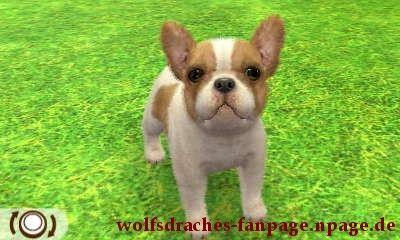 Bulldogge Zweifarbig