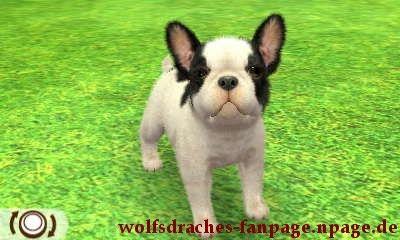 Bulldogge Schwarz-Weiß